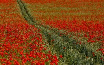 flowers, field, red, maki, england, track, kent