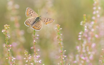 flowers, nature, insect, background, butterfly, wings