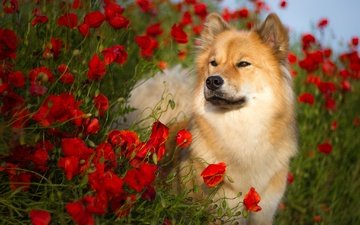 flowers, nature, summer, dog, maki, animal, the eurasier, birgit chytracek