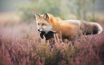 цветы, природа, прыжок, лиса, лисица, животное
