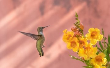 flowers, bird, beak, feathers, hummingbird, calypte anna, bignonia