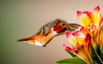 цветы, птицы, птица, клюв, перья, колибри, колибри аллена