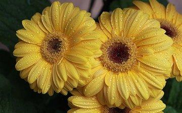 цветы, роса, капли, лепестки, желтые, герберы