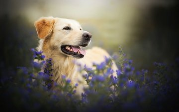 face, flowers, look, dog, language, bokeh, golden retriever
