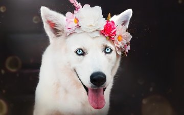 flowers, muzzle, look, dog, puppy, husky, each, language, wreath