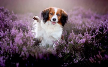 flowers, muzzle, look, dog, joy, paw, heather, kooikerhondje
