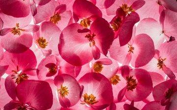 цветы, текстура, лепестки, бегония