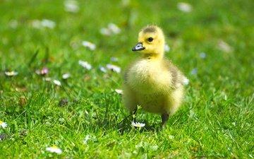 цветы, трава, птенец, зелень, лето, птица, ромашки, малыш, гусь, лужайка, пушистик, гусенок