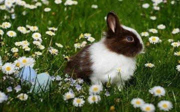 цветы, трава, ромашки, кролик, животное, пасха, яйца