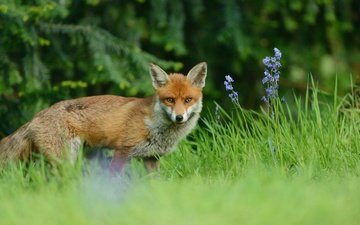 flowers, grass, nature, greens, forest, needles, muzzle, branches, glade, fox, ate