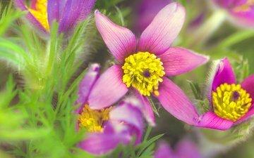 цветы, трава, зелень, макро, анемоны, сон-трава, прострел