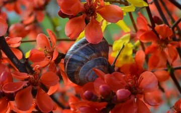 flowers, flowering, spring, snail, quince