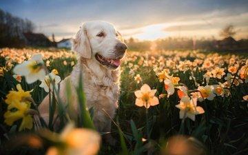 цветы, вечер, природа, поле, взгляд, собака, весна, нарциссы, золотистый ретривер