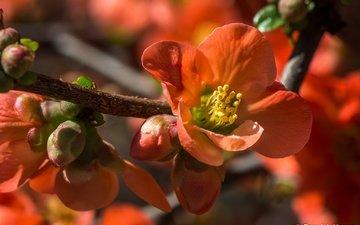 цветы, ветка, цветение, весна, айва
