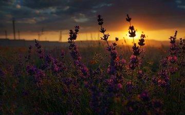 цветы, закат, макро, поле, лето, полевые цветы