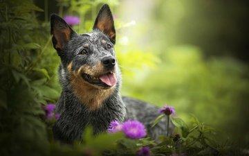 цветы, зелень, мордочка, взгляд, собака, друг, язык, пес, австралийская пастушья