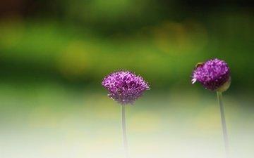цветы, зелень, насекомое, фон, размытость, декоративный лук, аллиум