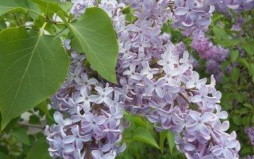 цветы, цветение, зелень, листья, весна, сирень, май