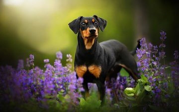 flowers, greens, dog, bokeh, tinkerbell, dackelpup, doberman pinscher