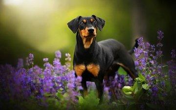 цветы, зелень, собака, боке, tinkerbell, dackelpup, доберман-пинчер
