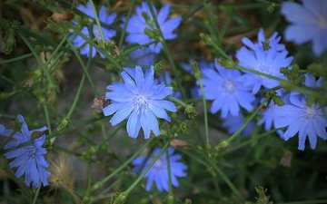 flowers, leaves, petals, chicory, chicory common