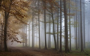 деревья, лес, туман, осень, тропа