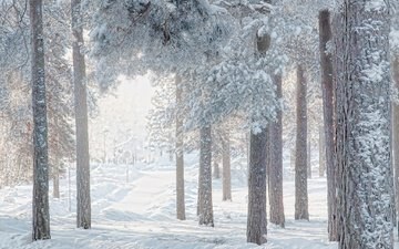 trees, snow, forest, winter, pine