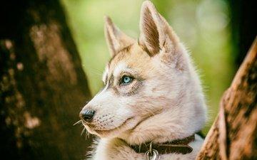 trees, trunks, dog, profile, animal, husky, collar