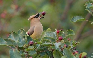 дерево, листва, птица, клюв, ягоды, перья, свиристель, ирга