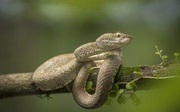 ветка, дерево, фон, змея, рептилия, пресмыкающееся, цепкохвостый ботропс
