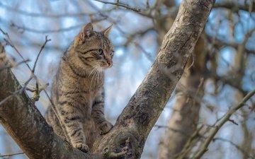 дерево, кот, мордочка, усы, ветки, кошка, взгляд