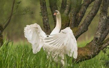 трава, дерево, крылья, птица, лебедь, шея