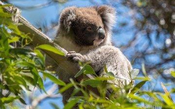 дерево, листья, ветки, австралия, коала, сумчатые, эвкалипт