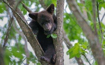 дерево, листья, медведь, малыш, медвежонок