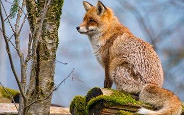 дерево, животные, рыжая, лиса, лисица