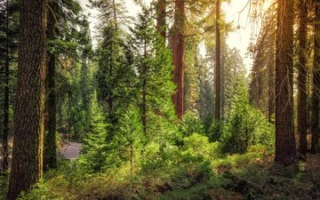 дорога, деревья, лес, кусты, сша, калифорния, king's canyon national park