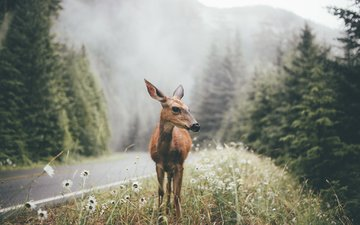 road, grass, forest, deer, fog, slope, usa, national park, washington, dylan furs