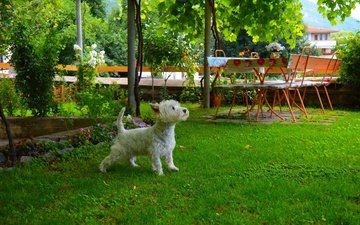 grass, muzzle, look, dog, puppy, yard, the west highland white terrier