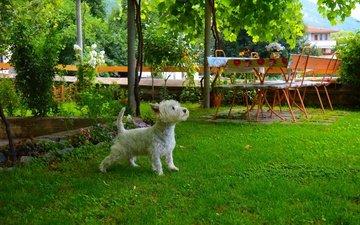 трава, мордочка, взгляд, собака, щенок, двор, собачка, вест-хайленд-уайт-терьер
