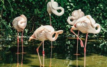 фламинго, птицы, розовые, перья