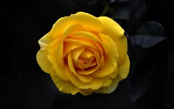 background, flower, rose, petals, bud, black background, yellow