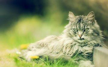 фон, кот, мордочка, усы, кошка, взгляд, размытость