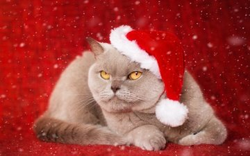 new year, background, cat, muzzle, mustache, look, cap, british shorthair
