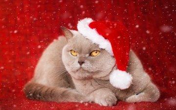 новый год, фон, кот, мордочка, усы, кошка, взгляд, колпак, британская короткошерстная кошка