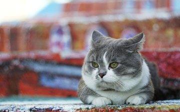 фон, кот, мордочка, усы, кошка, взгляд, лежит