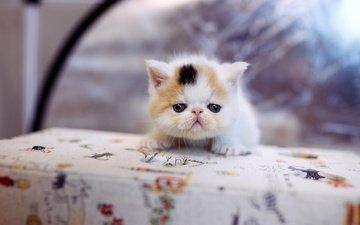 фон, кот, мордочка, кошка, котенок, маленький, стол, скатерть
