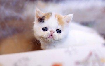 фон, кот, мордочка, усы, кошка, взгляд, котенок, маленький, носик, глазки, пятнистый