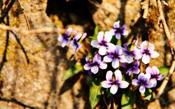 цветы, природа, камни, цветок, лепестки, фиалка