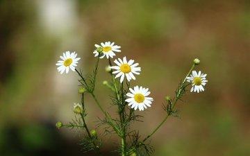 цветы, фон, лето, размытость, ромашки, белые