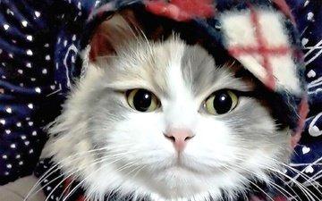 фон, кот, мордочка, усы, кошка, взгляд, шарф